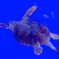 Tartaruga Comune