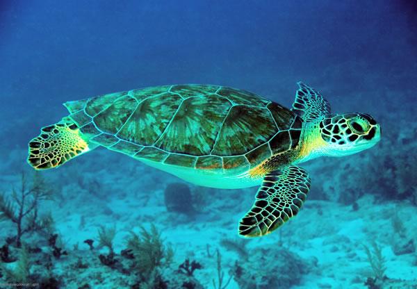 Tartaruga verde for Incubazione uova tartaruga